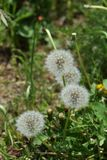 Dandelion fluff. Japanese spring tradition `dandelion fluff Stock Photos