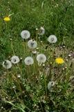 Dandelion fluff. Japanese spring tradition `dandelion fluff Stock Photo