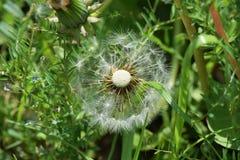 Dandelion fluff. Japanese spring tradition `dandelion fluff Stock Image
