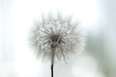 Dandelion Fluff Macro. On a light background Royalty Free Stock Images