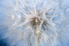 Dandelion Fluff Macro Royalty Free Stock Photography