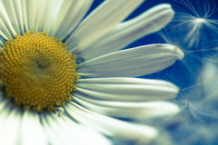 Dandelion fluff and macro chamomile flowers Royalty Free Stock Photos