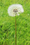 Dandelion fluff Royalty Free Stock Images