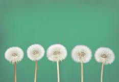 Dandelion fluff na cyraneczce Obrazy Royalty Free