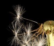 Dandelion fluff na czarnym tle Makro- Zdjęcia Royalty Free