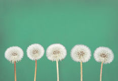 Dandelion fluff on teal. Danelion fluff or seeds on a teal or green background Royalty Free Stock Images