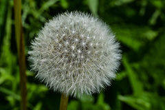 Dandelion Fluff royalty free stock photos