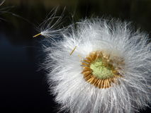 Dandelion fluff. White soft dandelion fluff on black background, Lithuania Royalty Free Stock Photos