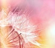 Dandelion - fluffy blowball Stock Images