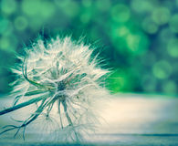 Dandelion - fluffy blowball Royalty Free Stock Image