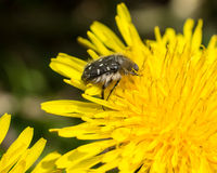 Dandelion and fluffy bug Stock Photography