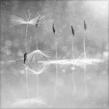 Dandelion fluffy seeds Stock Photography