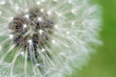 Dandelion fluffy seeds macro Stock Photos