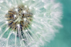 Dandelion fluffy seeds over blue Stock Photo