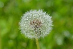Dandelion, fluffy umbrella on meadow Stock Photos