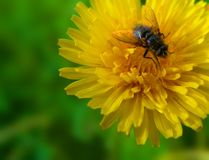 Dandelion and fly Stock Image