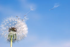Dandelion fly. Dandelion. A spring flower on a background of the blue sky royalty free stock photos
