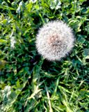 Dandelion with fly stock photo