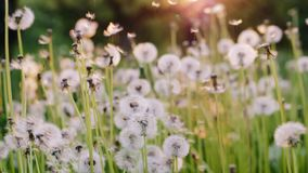 Free Dandelion Fly On A Nature Background. Slow Motion Royalty Free Stock Images - 117166729