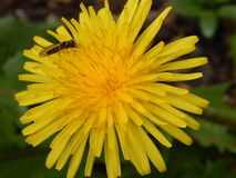 Dandelion Fly Royalty Free Stock Photography
