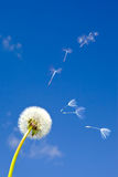 Dandelion and flying away fuzzes.  Stock Photos