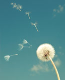 Dandelion and flying  fuzzes,with retro effect Royalty Free Stock Photo