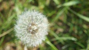 Dandelion Flying stock photos