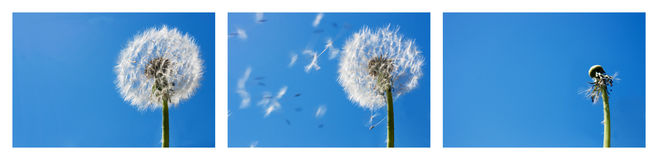 Dandelion Flying Seeds Royalty Free Stock Images