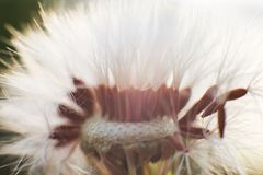 Dandelion with flying seeds. royalty free stock photo