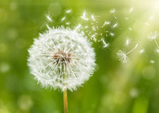 Dandelion with flying seeds Stock Photo