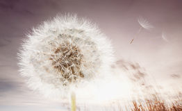 Dandelion and flying seeds Royalty Free Stock Photography