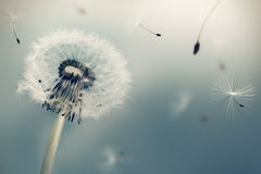 Dandelion flying seeds stock illustration