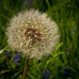 Dandelion in Focus Photography Royalty Free Stock Image