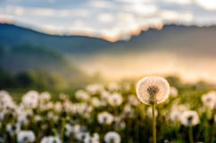 Dandelion at foggy sunrise in mountains. Dandelion in foggy valley. countryside landscape in mountains at sunrise. gorgeous springtime weather Stock Photos