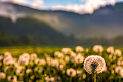 Dandelion at foggy sunrise in mountains. Dandelion in foggy valley. countryside landscape in mountains at sunrise. gorgeous springtime weather Royalty Free Stock Images