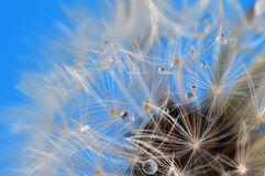 Dandelion foreground right Royalty Free Stock Photography