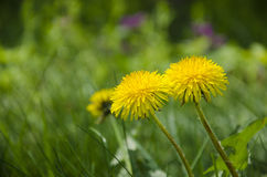 Dandelion in the forest Royalty Free Stock Photos