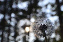 Dandelion in the forest Stock Photography