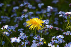 Dandelion among a forget-me-not. Stock Images