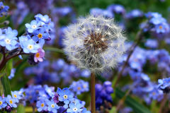 Dandelion and Forget-Me-Nots Royalty Free Stock Photo