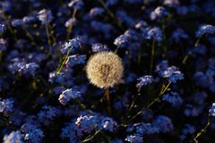 Dandelion and Forgetmenot stock photo