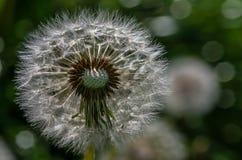 Dandelion. Foto of dandelions blowing flower Stock Images