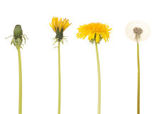 Dandelion in four different stages. Isolated on a white background Stock Image