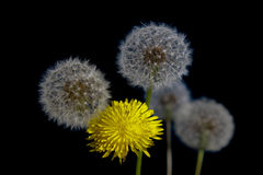 Dandelion. The fragile beauty of high reproductive capacity Royalty Free Stock Image