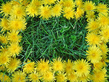 Dandelion frame. Grass with Dandelion frame Royalty Free Stock Photo