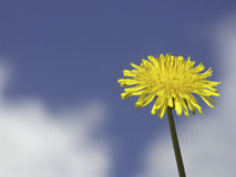 Dandelion in front of sky. And clouds Royalty Free Stock Images