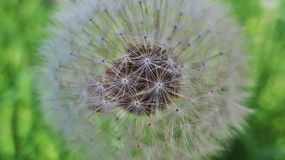 Dandelion with a full amount of seeds Stock Photos
