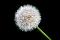 Dandelion in full bloom Royalty Free Stock Images