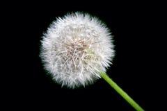 Dandelion in full bloom Royalty Free Stock Images