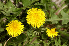 Dandelion. Fun, happy, and Sunny yellow flower. It is a flower of childhood. It is filled with warmth and love. Dandelion for some time brings us back to Stock Photo